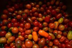 Landelijke kleurrijke ecologische tomaten van een perceel van land in het UK royalty-vrije stock foto