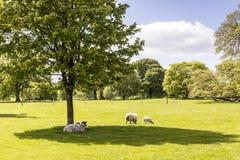 Landelijke scène met schapen en nieuwe lammeren Royalty-vrije Stock Fotografie