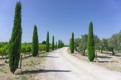 Landelijke wegingang aan wijngaard en olijfoliebomen organische landbouwgrond, altijdgroene pijnboombomen aan beide kant onder le royalty-vrije stock foto