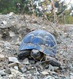 Landen Sie blaue Schildkröte der trockenen Vegetation der großen Größenhintergrund-Steine Lizenzfreie Stockfotos