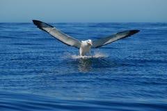 Landende Albatross- Voorzijde stock afbeelding