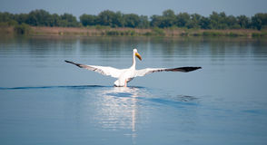 Landende pelikaan Royalty-vrije Stock Afbeelding