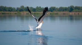 Landende pelikaan Stock Afbeeldingen