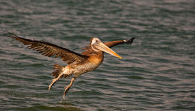 Landender peruanischer Pelikan lizenzfreie stockfotografie