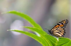 Landender Schmetterling stockbild