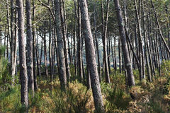 Landes forest Stock Photo