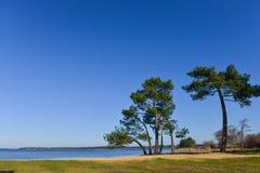 Landes pine on a lake Royalty Free Stock Image