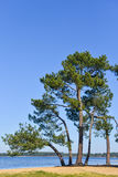 Landes pine on a lake Stock Photography