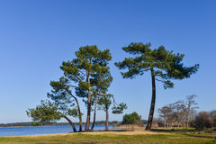 Landes pine on of a lake Stock Images