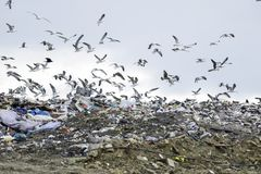 Landfill flock of nuisance birds. Gulls, crows and other scavengers mass ove landfill sites for food.  A full time Falconer is employed to clear the area in Stock Photography
