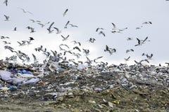 Landfill flock of nuisance birds Stock Photography
