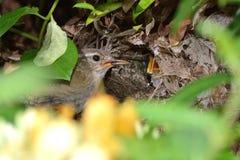 Landhopper de alimentation de roitelet (troglodytes de troglodytes) au poussin Photos libres de droits