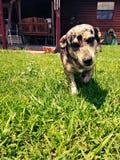 Landhund Stockbilder