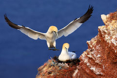 Landind d'oiseau au nid avec la séance femelle sur les egs Scène de faune de nature Oiseau de mer sur la falaise de roche Image libre de droits