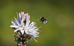Landing. Bee landing in a beautifull flower Royalty Free Stock Image