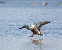 Landing. A shovelnose duck coming in for a landing on a lake Royalty Free Stock Photos