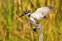 The landing. Pied kingfisher, South Africa, landing on a dead branch surrounded by tall reeds Stock Photography