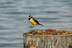 Landing. A bird landing Royalty Free Stock Photography