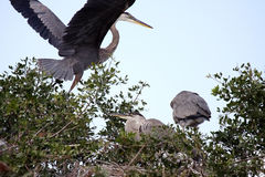 The Landing. Great Blue Heron returning to her nest Royalty Free Stock Photography