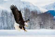 Landing Adult Bald Eagle. Adult Bald Eagle  Haliaeetus leucocephalus washingtoniensis  in flight. Alaska in snow Stock Photo