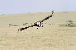 A landing African White-backed Vulture Stock Photos