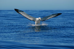 Landing Albatross- Front. Albatross Encounter cruise in Kaikoura Coast Stock Image