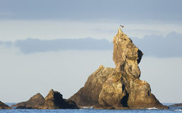 Landing Bald Eagle. A bald eagle lands on a dramatic rock spire rising out of the Pacific Ocean along the Olympic coast in Washington State Stock Image