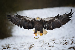 Landing bald eagle Royalty Free Stock Photography