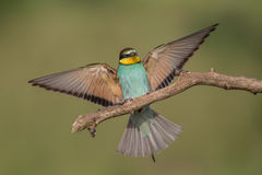 Landing bee eater Royalty Free Stock Image