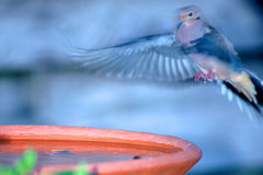 Landing at Bird Bath. A morning dove landing at a bird bath Royalty Free Stock Photos