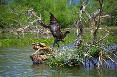 Landing bird on lake tree Stock Image