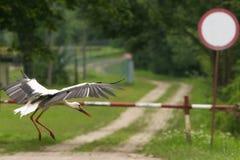 Landing bird, stork Stock Image