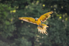 Landing blue-and-yellow Macaw - Ara ararauna in backlight Stock Photo