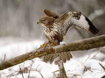 Landing buzzard Royalty Free Stock Photo