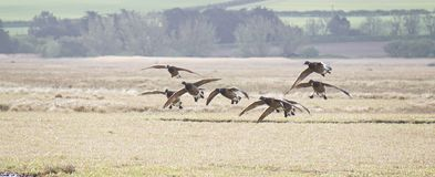 Landing Canada Geese Stock Photography