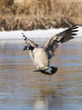 Landing Canada Goose Royalty Free Stock Images