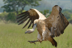 Landing. Cape Vulture landing with spread out wings Royalty Free Stock Photography