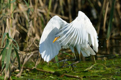 Landing. Cattle Egret landing in natural pond Royalty Free Stock Photo