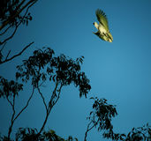 Landing cocky. Sulfur crested cockatoo landing on gum tree. Caught in flight Royalty Free Stock Photo