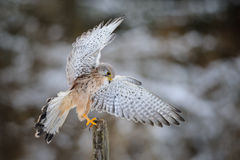 Landing common kestrel to wooden post in forest Stock Photos