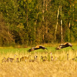 Landing Cranes Stock Image