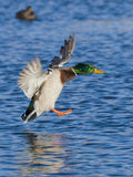 Landing Drake Mallard. Mallard feet down and ready to land Stock Photo