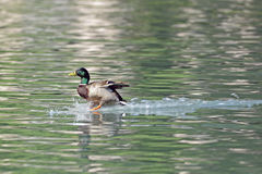 Landing duck. A mallard landing on a little lake Royalty Free Stock Image