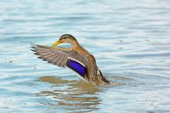 Landing duck. With spread wings Royalty Free Stock Photo