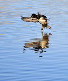 Landing Duck Royalty Free Stock Photos