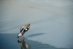 Landing Duck Royalty Free Stock Photography