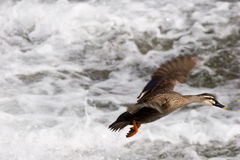 Landing Duck stock photography