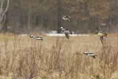 Landing Ducks Stock Image