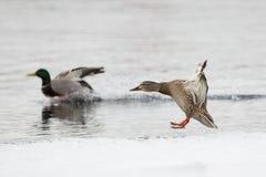 Landing ducks Royalty Free Stock Photography