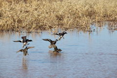 Landing ducks Royalty Free Stock Photography